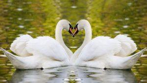Лебеди в форме сердца